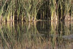 Reflected Reeds Stock Image