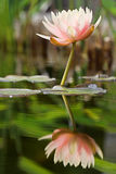 Reflected serenity. Reflected water lily Royalty Free Stock Image