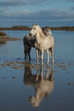 Reflected stallions Royalty Free Stock Photos
