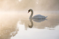 Reflected Swan Royalty Free Stock Photography