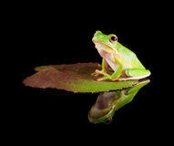 Reflected tree frog on leaf. White-lipped tree frog or Litoria Infrafrenata sitting on a leaf Stock Photos