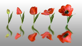 Reflected tulip royalty free stock images
