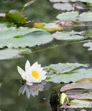 Reflected Water Lily. A Water Lily and it's reflection in a still lake stock photo