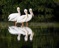 Reflected White Pelican Trio - Sanibel Island, Florida. Three American white pelicans are reflected in the waters of Ding Darling National Wildlife Refuge on royalty free stock photography
