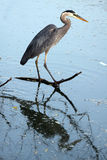 Reflecting. Closeup of a Great Blue Heron and reflection in a pond Stock Photography