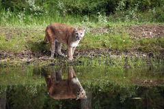 Reflecting. Closeup of a Mountain Lion and reflection in a pond Stock Photos