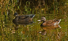 Reflecting Ducks Stock Photography