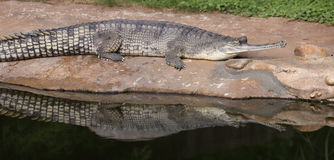 Reflecting gavial Royalty Free Stock Image