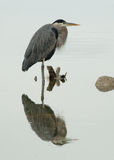 Reflecting Heron Royalty Free Stock Image