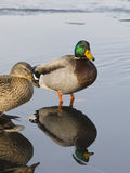 Reflecting Mallards. Pair of Mallards reflecting on th ewater in the morning light Stock Image