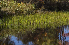 Reflecting Reeds Stock Images