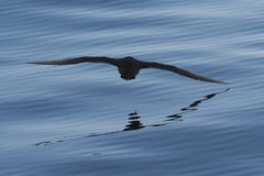 Reflecting Sooty. A Sooty Shearwater skimming the Atlantic ocean near Hermanus, South Africa. Puffinus griseus Royalty Free Stock Photography