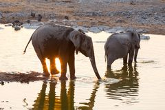 Reflecting sunset and elephants at the water Royalty Free Stock Photos