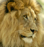 Male lion gazing for prey in the distance. stock images