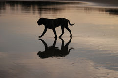 Reflection. Of dog on beach stock images