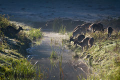 Reflection of antlers herd standing near the river stock image