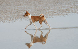 Reflection as dog paces on sand Royalty Free Stock Photography