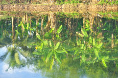 Reflection of banana trees in the water. Thailand royalty free stock images