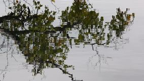 The reflection of the birch branches in the water. Fall stock video footage