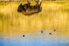 Bison reflection Waterton Lakes National Park, Alberta, Canada. The reflection of a bison in the pond water with ducks swimming by Stock Photography