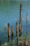 Reflection of Branches on lake Waters Royalty Free Stock Photo