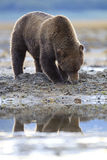 Reflection of a brown bear Royalty Free Stock Photography