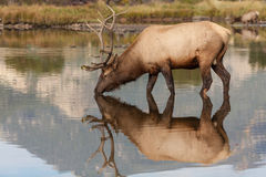Reflection of Bull Elk Drinking Royalty Free Stock Photos