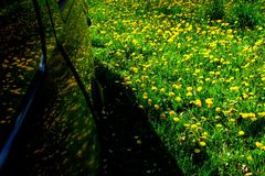 Reflection in the car of dandelion flowers in the green grass.2. Spring meadow with yellow flowers - dandelion. Located within the green grass Royalty Free Stock Photos