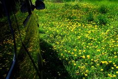 Reflection in the car of dandelion flowers in the green grass.3. Spring meadow with yellow flowers - dandelion. Located within the green grass Stock Images