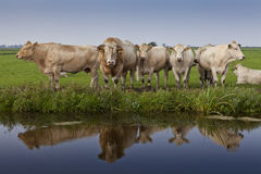 Reflection of cattle Stock Images