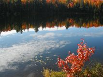 Reflection of clouds and maples in a lake. Reflection of cirrus clouds and fall maples in a lake with young, self-sown maple in the foreground Stock Photography