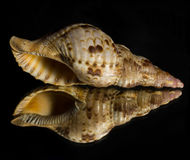 Reflection of a Conch Seashell on a Mirror Stock Photography