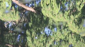 The reflection of a conifer tree on water with debris floating past. In Mount Coo-tha Botanic Gardens, a set of large ponds dominates the lowest ground.  Wild stock video footage