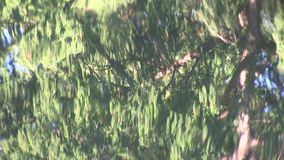 The reflection of a conifer tree on water. In Mount Coo-tha Botanic Gardens, a set of large ponds dominates the lowest ground.  Wild water birds inhabit the stock video footage
