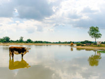 Reflection of a Cow II. Cows reflected at Stoney Cross near a lake Royalty Free Stock Photo