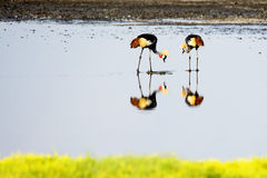 Reflection of Crowned Cranes Stock Image