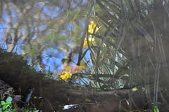 Reflection of Daffodils in a pond Stock Photos