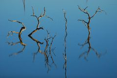 Reflection of dead trees. In the water (South Africa Royalty Free Stock Photography
