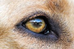 Reflection in dog's eye Stock Images