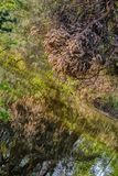 Reflection of dried thick pine branches in the reflection of the water stock images