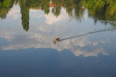 Reflection of the duck, green trees and blue sky in clean water stock photo