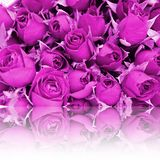 Reflection of dye purple rose. Background for valentine's day. Copy space for text royalty free stock image