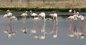 Reflection of Flamingos on water Royalty Free Stock Photo