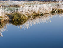 Reflection of frozen grass. In water Stock Photography