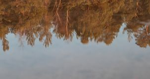 Reflection of golden trees in the water.  stock video