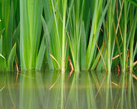 reflection of grass in the water Stock Photo