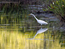 Reflection of great egret in water. A great egret casts a reflection in the water near Deland, Florida Stock Image