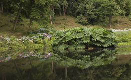 Reflection of gunnera and hydrangeas in lake. Stock Photography