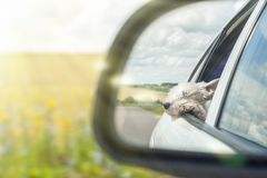 Reflection of a happy dog in the rearview mirror of the car
