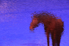 Reflection of Horse Royalty Free Stock Photo